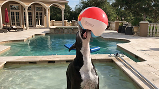 Funny Great Dane Plays with Beach Ball - Video