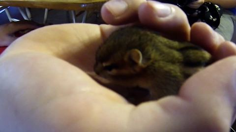 Orphaned newborn chipmunk returns to family that saved it