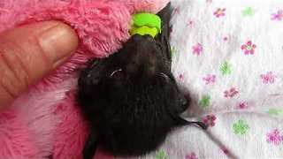 Rescued Baby Bat Separated From Ill Mother - Video