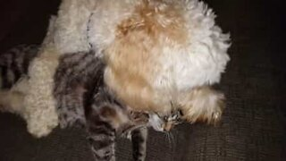 Dog tries to annoy the most apathetic cat in America
