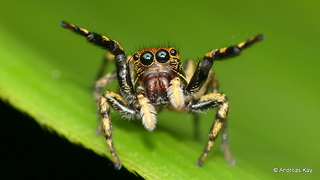 Hands up little Jumping spider!  - Video