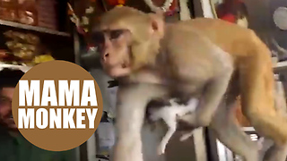 This abandoned kitten has a new mother - a doting macaque monkey - Video