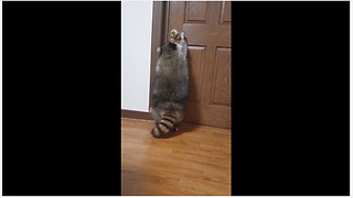 Pet raccoon learns how to open doors - Video