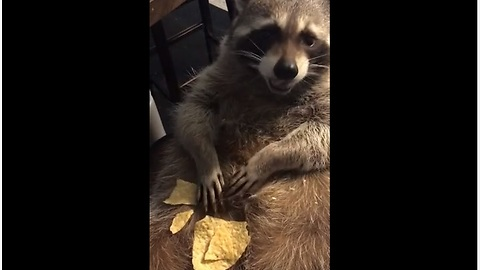 Lazy Raccoon Eats Chips Off His Belly