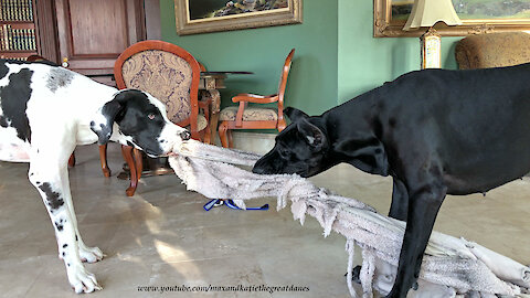 Funny Great Dane Version Of Twister and Tug Of War