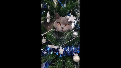 7kg cat scales 7ft Christmas tree