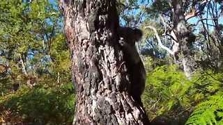 Koala Can't Wait to Scale His Tree and Get Back Into the Wild - Video