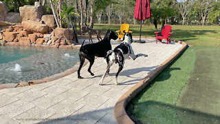Happy Great Danes Go On A Tree Tour Of Their Florida Backyard