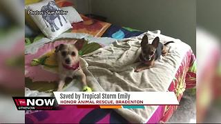 Dogs at rescue shelter saved by Tropical Storm Emily - Video