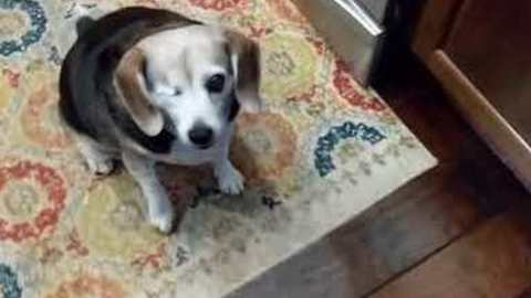 Ellie the One-Eyed Dog Performs a Cool Trick