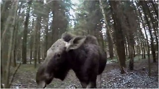 Emma the moose runs with rescuer through woods - Video