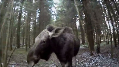 Emma the moose runs with rescuer through woods
