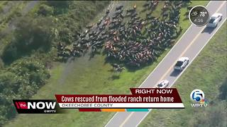 Cows rescued from flooded ranch return home - Video