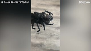 Old dog looks adorable in spider costume