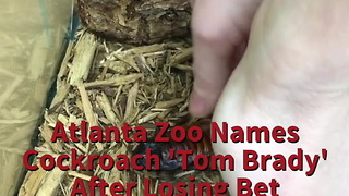 Atlanta Zoo Names Cockroach 'Tom Brady' After Losing Bet - Video
