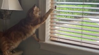 Super clever cat knows how to close blinds on command