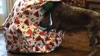 German Shorthair Pointer receives special Christmas gift