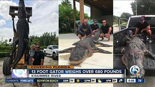 13-foot alligator caught in Kissimmee River