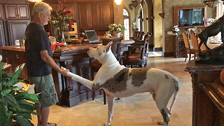 Talented Great Danes Ask for Dog Treats  - Video