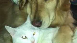 Golden Retriever and Cat Share a Special Bond