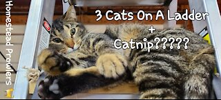 Catnip Tails #Shorts : 3 Cats On a Ladder and What DA Ya Get?