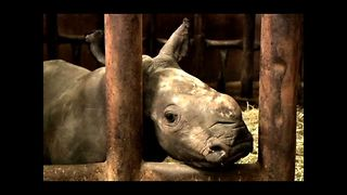 Rare Baby Rhino Surprise - Video