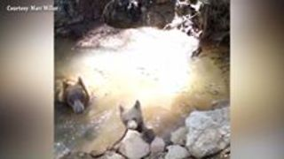 Momma Bear and Cub Cool Down in Forest Ranch, California - Video