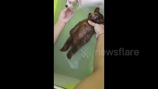 Mellow poodle lies back and enjoys shower with canine friends