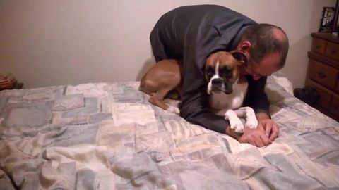 Boxer Dog Hides When Woman Tries To Scold Him