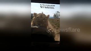 Wild lion attacks vehicle and bites spare tyre - Video