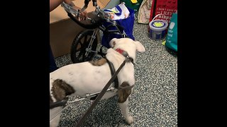 Disabled dog excited for brand new wheelchair