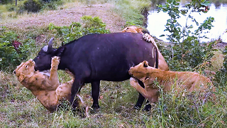 Buffalo Mourn Dead Female After Lion Attack | SNAPPED IN THE WILD - Video