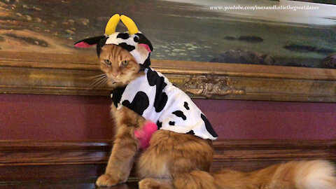 "Cat looks ""udderly"" fantastic In Halloween cow costume"