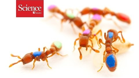 First genetically modified ant shows expanded sense of smell helped ants become social