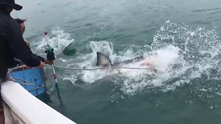 Bait handler enters into vicious tug-of-war with great white shark - Video