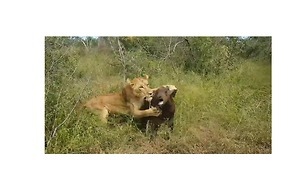 Lion Kills Buffalo Calf Left Behind by the Herd - Video