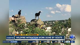 Wildfire mitigation work done by goats - Video