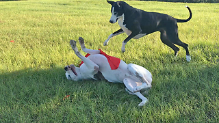 Hilarious Halloween Great Danes Playtime