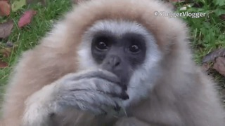 Cute Gibbon Won't Stop Munching the Grass - Video