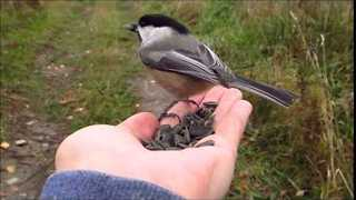 Chickadees Enjoy a Feast - Video