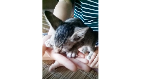Kitten confuses human hand for mother's milk