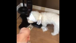 """Dog attempts """"Bird Box Challenge"""" with hilariously cute results - Video"""