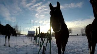 Emma the moose and her horse friends - Video