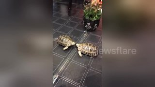 Giant tortoise fights with own reflection in mirror - Video
