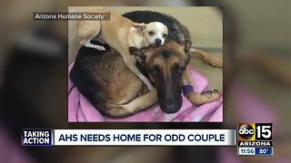 """""""Odd couple"""" at Arizona Humane Society looking for a forever home"""