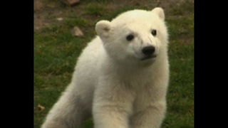 World Series Of Cute: Pandas vs Polar Bears - Video