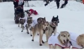 Second-Sled Driver Takes a Spill as Iditarod Begins - Video