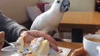 Harley the Cockatoo Explores Germany on Vacation - Video