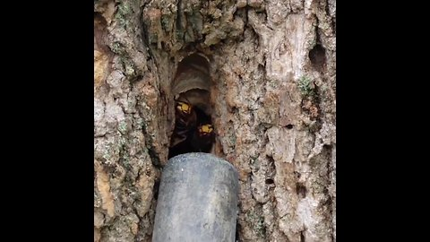 Hornets vacuumed out of HUGE nest found in tree trunk