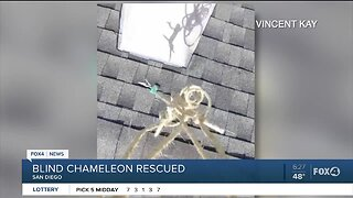 Blind chameleon rescued from roof by drone
